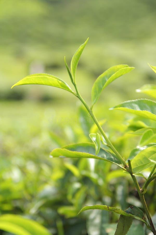 zostaw zielony herbatę obraz royalty free