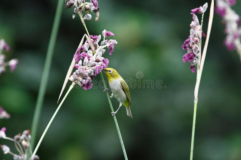 Zosterops japonicus photo stock