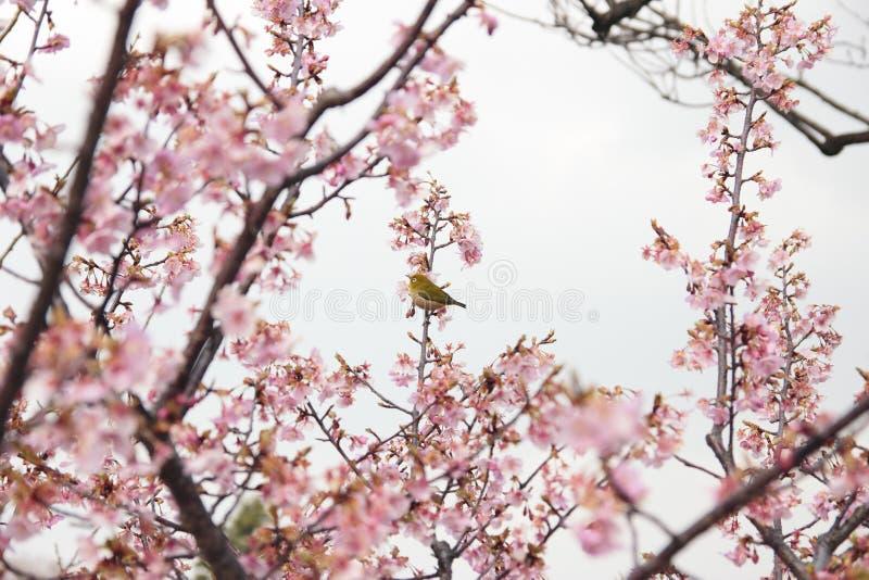 Zosterops na flor de cereja fotos de stock royalty free