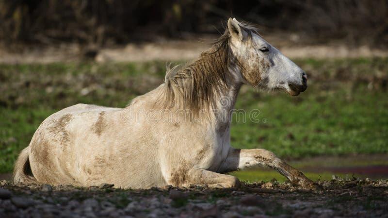 Zout de modderbroodje van het Rivierwild paard royalty-vrije stock foto