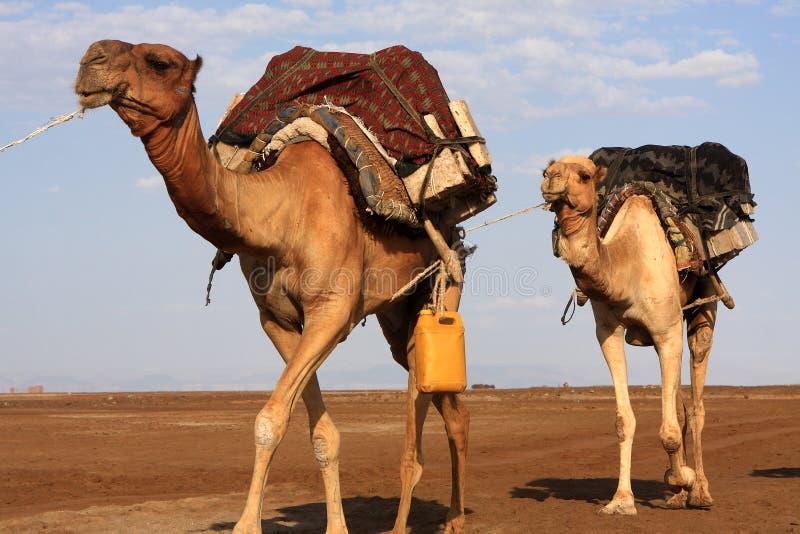 Zoute Kamelen van de Verafgelegen Mensen de Danakil-Depressie, Ethiopië, Oost-Afrika royalty-vrije stock afbeelding