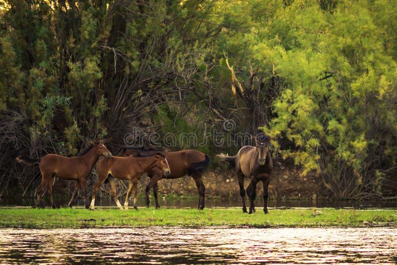Zoute Rivierwild paarden royalty-vrije stock foto's