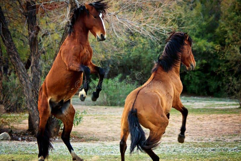 Zoute Rivierwild paarden, Maricopa, Arizona, Verenigde Staten stock foto's
