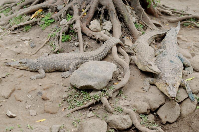 Zoutwaterkrokodil of saltie of estuarine of indo-vreedzame krokodil of crocodylusporosus stock afbeeldingen