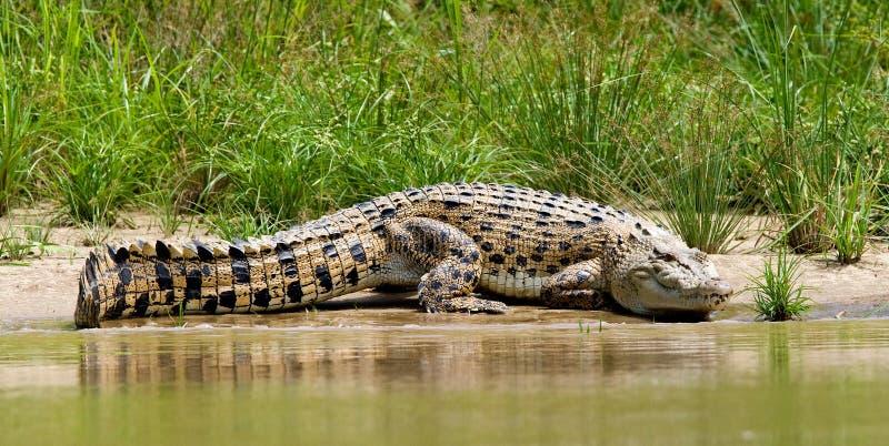 Zoutwaterkrokodil saltvattens- krokodil, Crocodylusporosus royaltyfria bilder