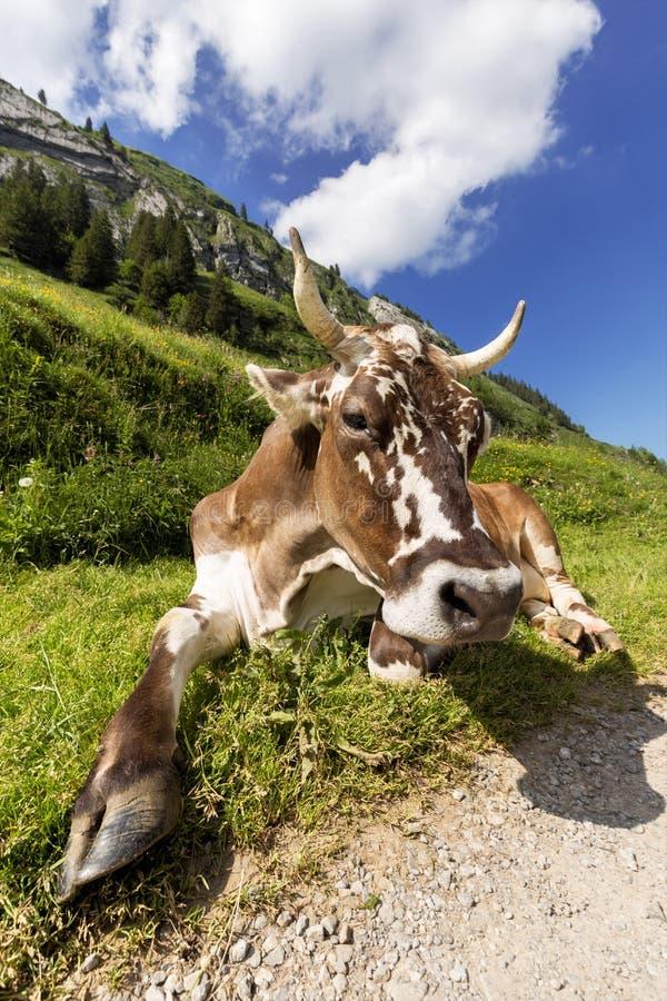 Zrelaksowana krowa obrazy stock