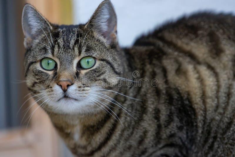 Zrelaksowany kot patrzeje kamerÄ™ w domu obraz royalty free