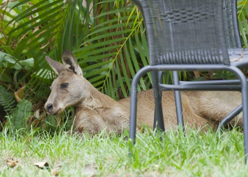 Zrelaksowany popielaty kangur obrazy royalty free