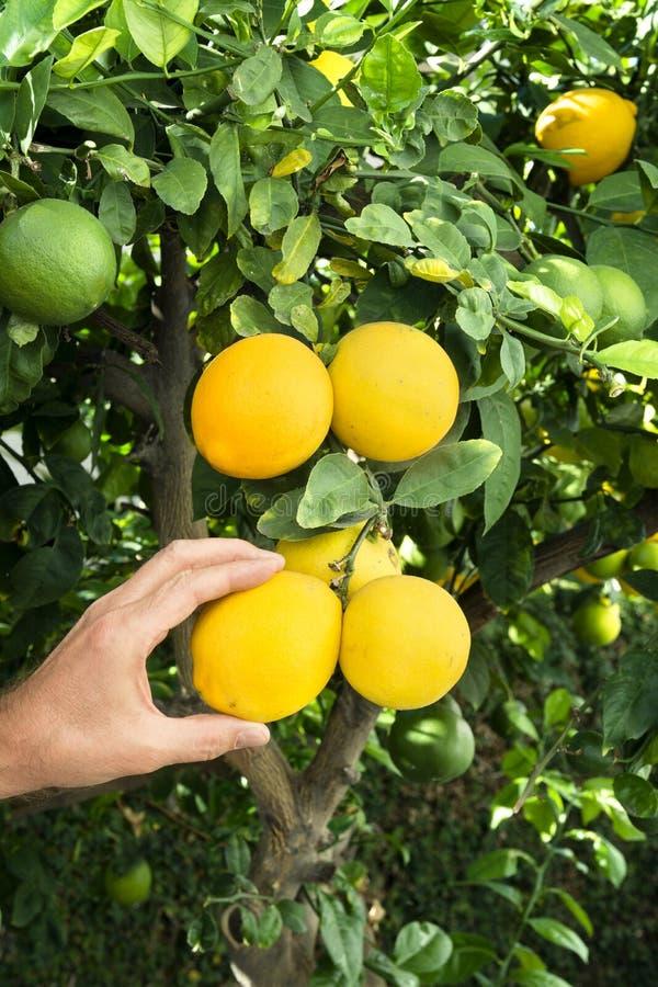 Zrywanie cytryny od drzewa zdjęcie royalty free