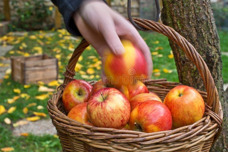 Zrywanie jabłka zdjęcia stock