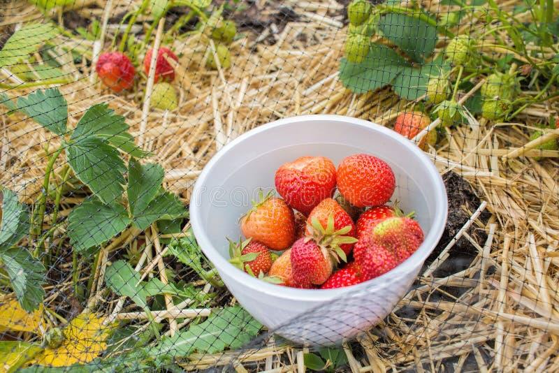 Zrywanie truskawki, krajowy owoc i warzywo ogród obraz royalty free