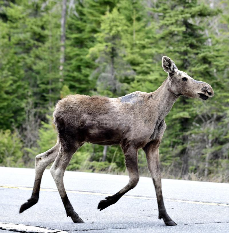 Young Moose Calf. This is a zspring picture of a young Moose Calf crossing a road in Jackman, Maine. This picture was taken on May 17, 2018 royalty free stock photography