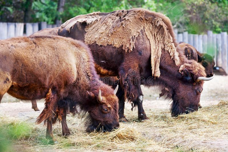 Zubr żubra bonasus, Europejski żubr/dzwoniliśmy wisent, zoologiczny ogród, Troja okręg, Praga, republika czech zdjęcia stock