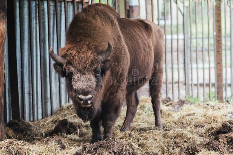 Zubr or European bison. In captivity. For any purpose royalty free stock photography
