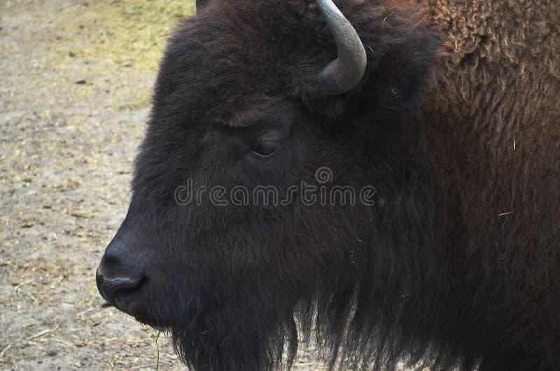 Zubr, o bisonte europeo foto de archivo libre de regalías