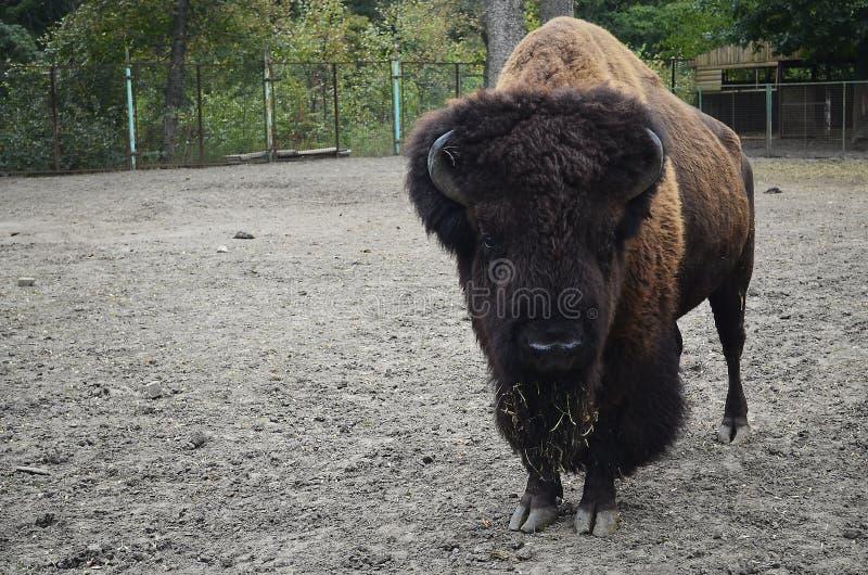 Zubr, o bisonte europeo fotografía de archivo libre de regalías