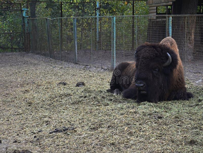 Zubr, o bisonte europeo imagen de archivo