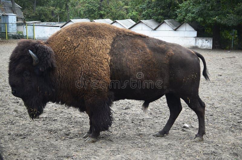 Zubr, o bisonte europeo fotos de archivo libres de regalías