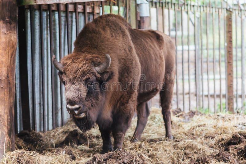 Zubr oder europäischer Bison In der Gefangenschaft lizenzfreie stockbilder