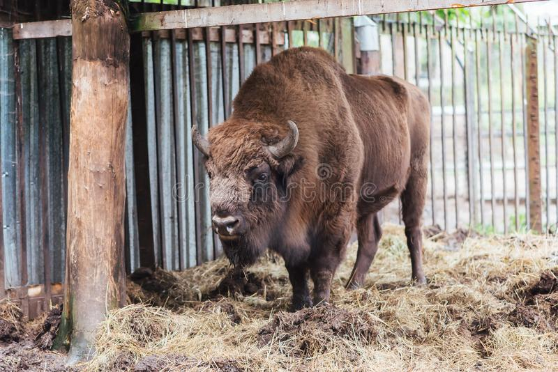 Zubr oder europäischer Bison In der Gefangenschaft lizenzfreies stockfoto
