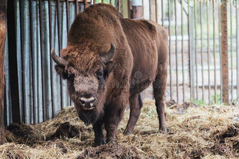 Zubr oder europäischer Bison In der Gefangenschaft lizenzfreie stockfotografie