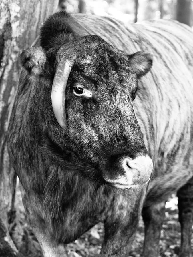 Zubron - ibrido del bestiame domestico e del bisonte europeo immagini stock libere da diritti