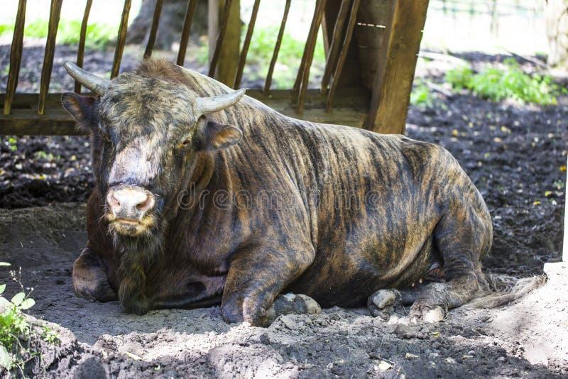 Zubron - ibrido del bestiame domestico e del bisonte europeo immagine stock