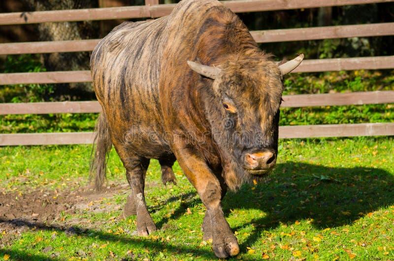Zubron - ibrido del bisonte e della mucca fotografie stock
