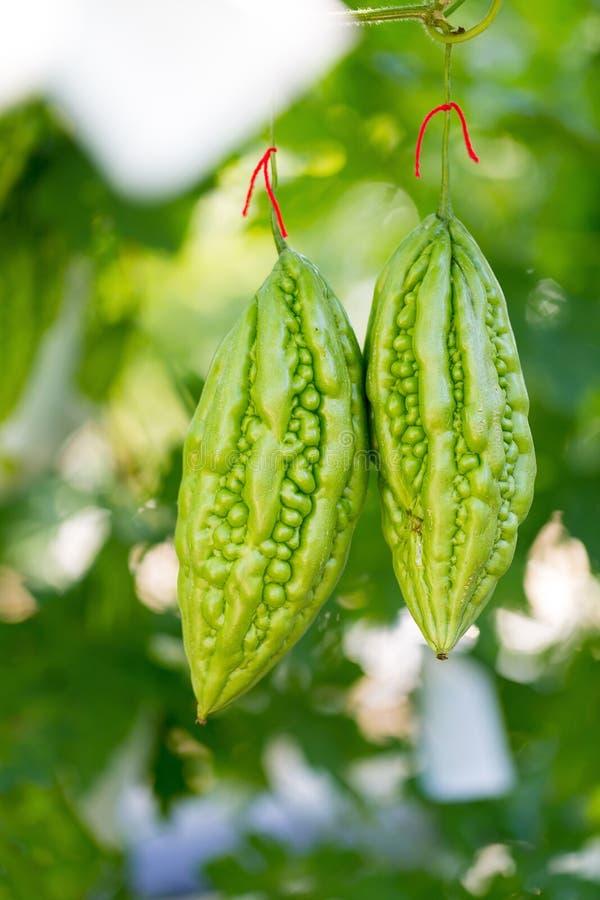Zucca amara selvaggia, cetriolo amaro, zucca amara in giardino immagini stock libere da diritti