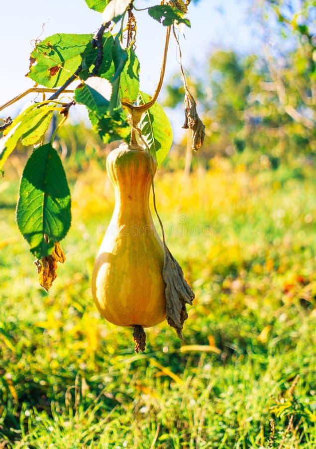 Zucca di autunno matura in un orto rustico Sera soleggiata di autunno nel villaggio fotografie stock libere da diritti