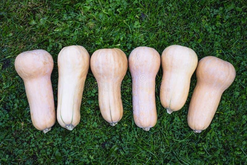 Zucca di Butternut, Cucurbita fotografia stock