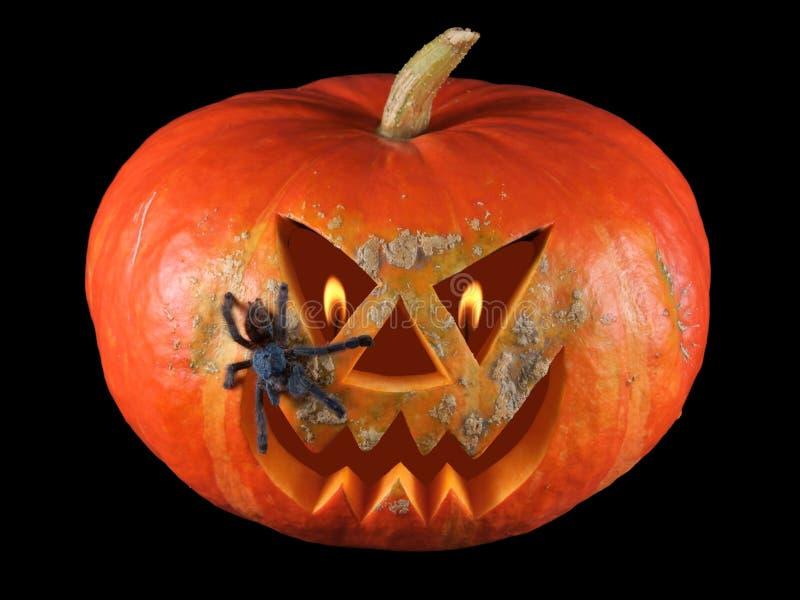 Zucca, Halloween, vecchia presa-o-lanterna su fondo nero con le fiamme ardenti negli occhi ed in tarantola Antille Pinktoe Avicul fotografia stock