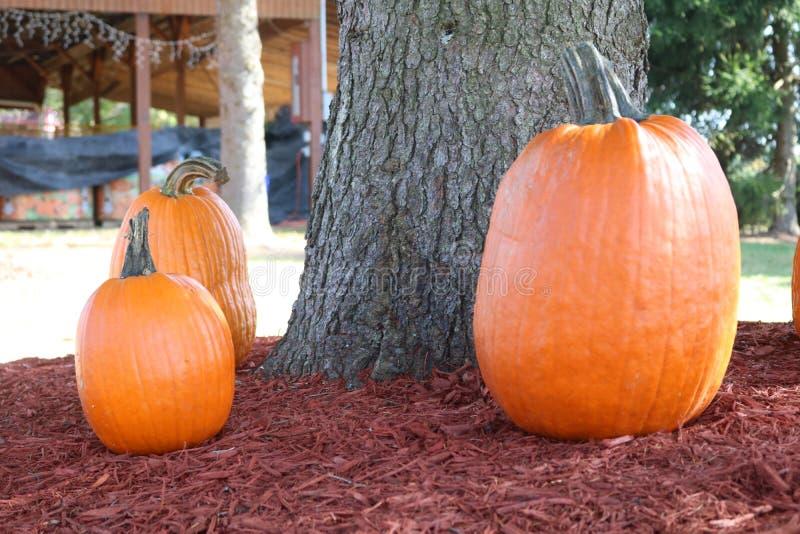 Zucche arancio intorno all'albero immagini stock libere da diritti