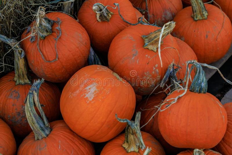Zucche arancio multiple con fieno immagine stock