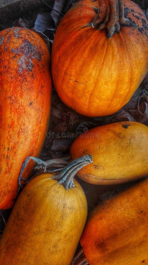 Zucche di autunno pronte per l'uso immagine stock libera da diritti
