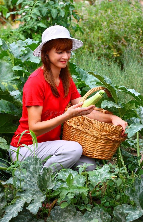 Zucchini di raccolto della donna fotografia stock