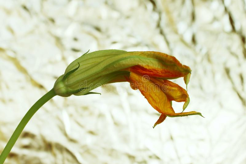Zucchini flower over colorful background. One flower over light background. stock images