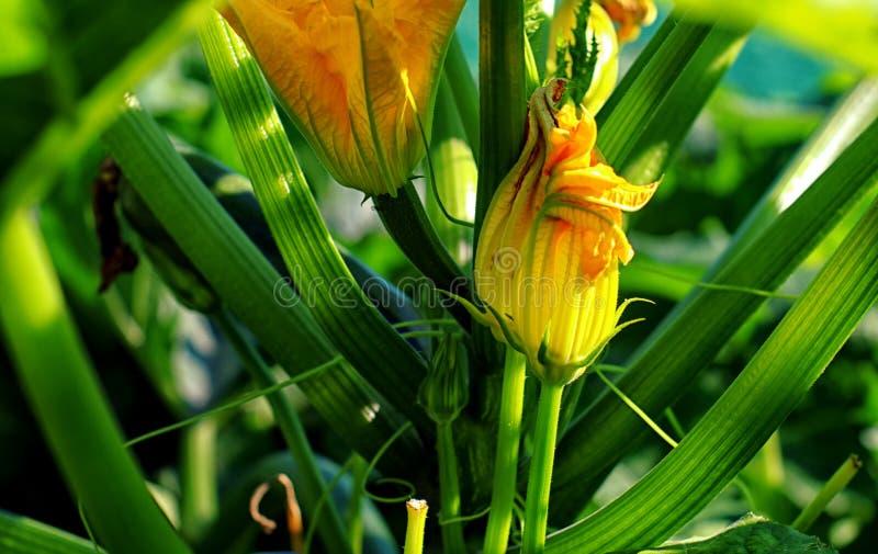Zucchini flower in the sunlight stock photo