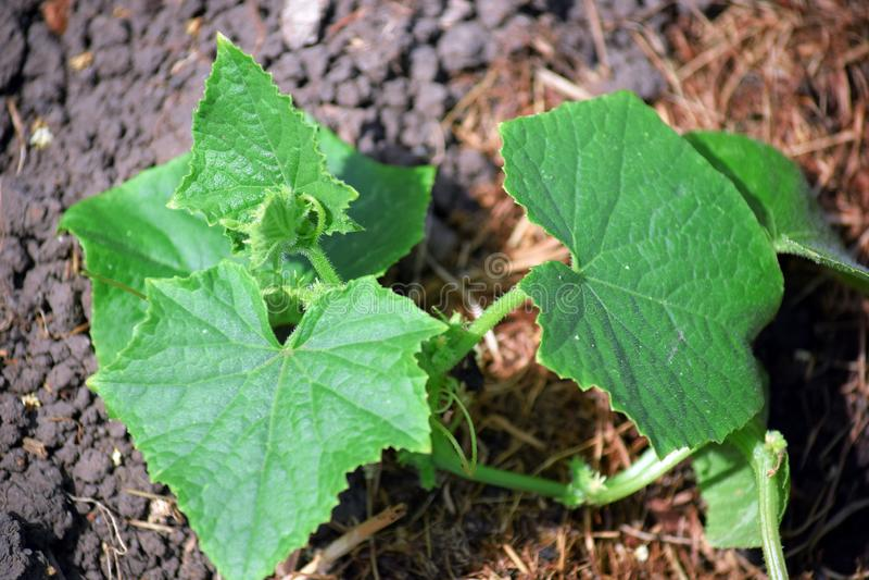 Zucchini-Hausgarten, der vegetarisches Foto auf Lager pflanzt lizenzfreie stockbilder