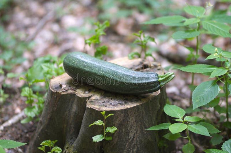Zucchini o zucchino maturo fotografie stock libere da diritti