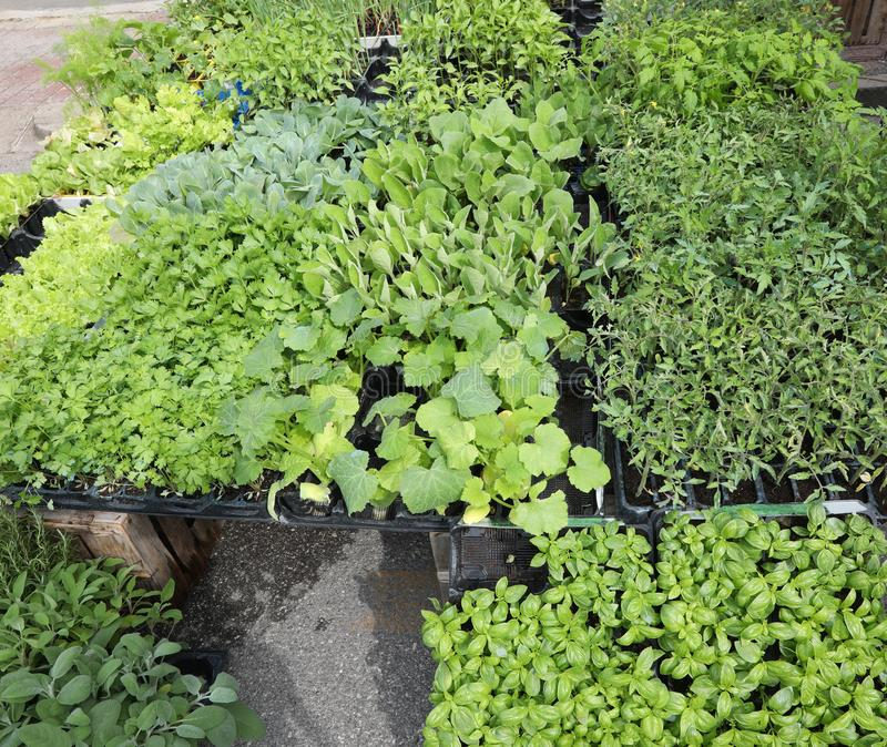 zucchini- och auberginetomatväxter som är klara att transplanteras för arkivbilder