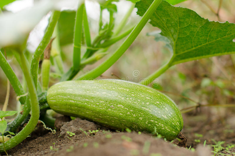 Zucchini. A zucchini in the old orchard stock photo