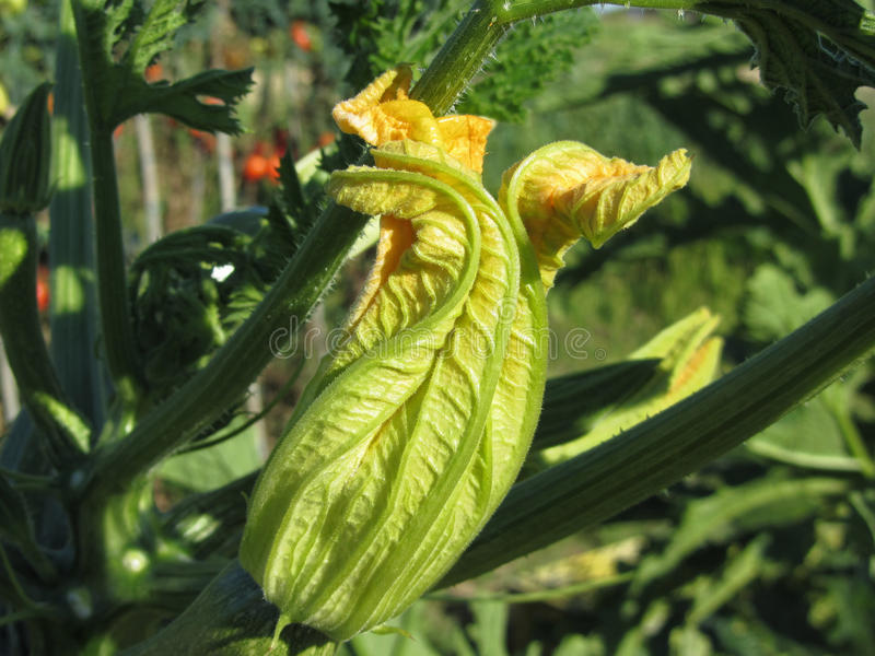 Zucchini plant in blossom in the vegetable garden . Tuscany, Italy.  stock image