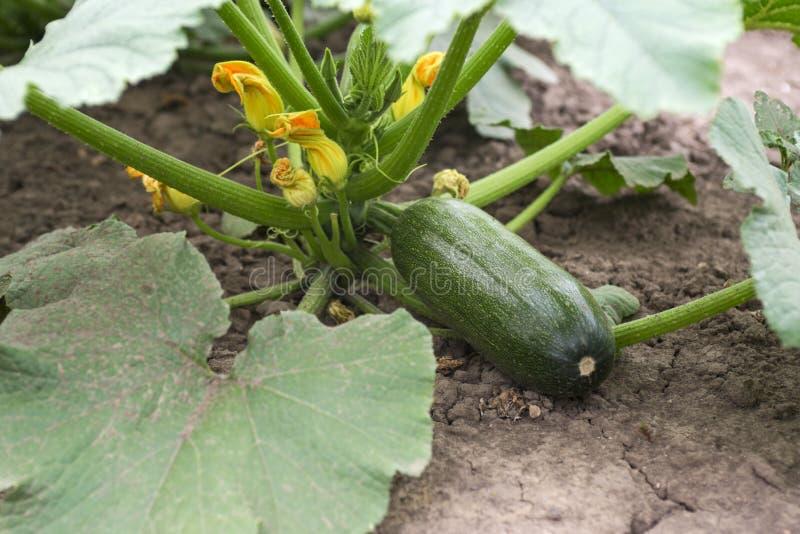 Zucchini plant. Zucchini flower. Green vegetable marrow growing on bush.  royalty free stock image