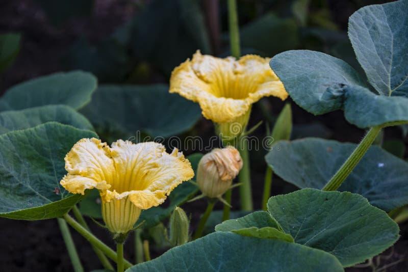 Zucchini plant. Zucchini flower. Zucchini growing. Green vegetable marrow growing on bush.  royalty free stock image