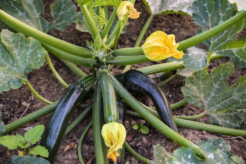 Zucchini plant. Zucchini flower. Zucchini growing. Green vegetable marrow growing on bush.  stock photos