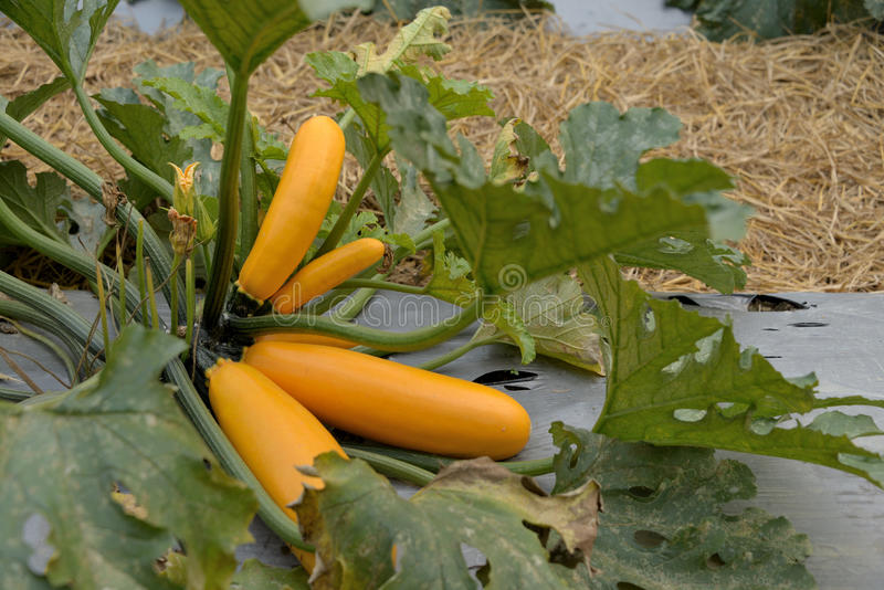 Download Zucchini ripe for seeds. stock image. Image of yellow - 29774539