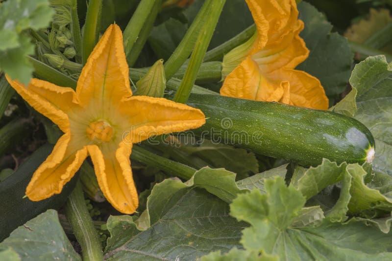 Zucchini roślina z kwiatami i owoc obrazy royalty free