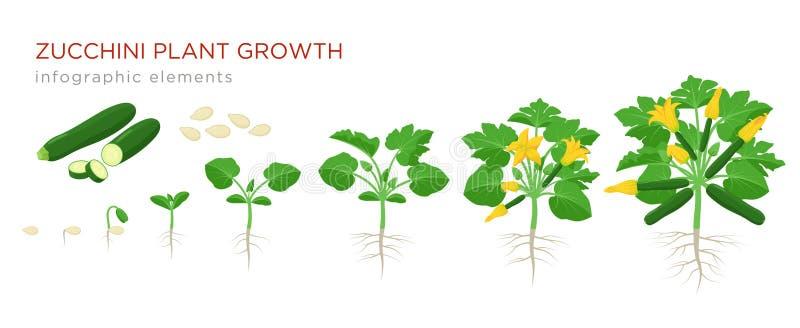 Zucchini ro?liny przyrost od ziarna, flancy, kwiecenia i dojrza?ej ro?liny z dojrza?ymi owoc, Rosn?? sceny kabaczka wektor royalty ilustracja