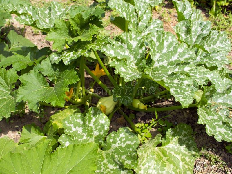 Zucchini w?chst im Garten Zucchinibusch Ernten Kürbisbusch stockbilder